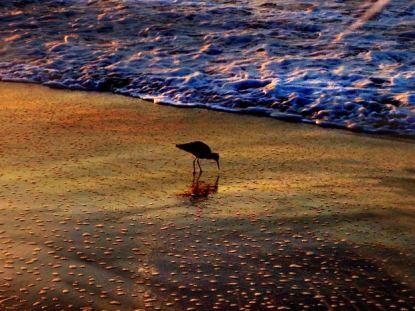 sandpiper dawn