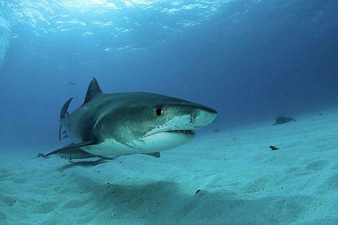 shark-pregnant.jpg