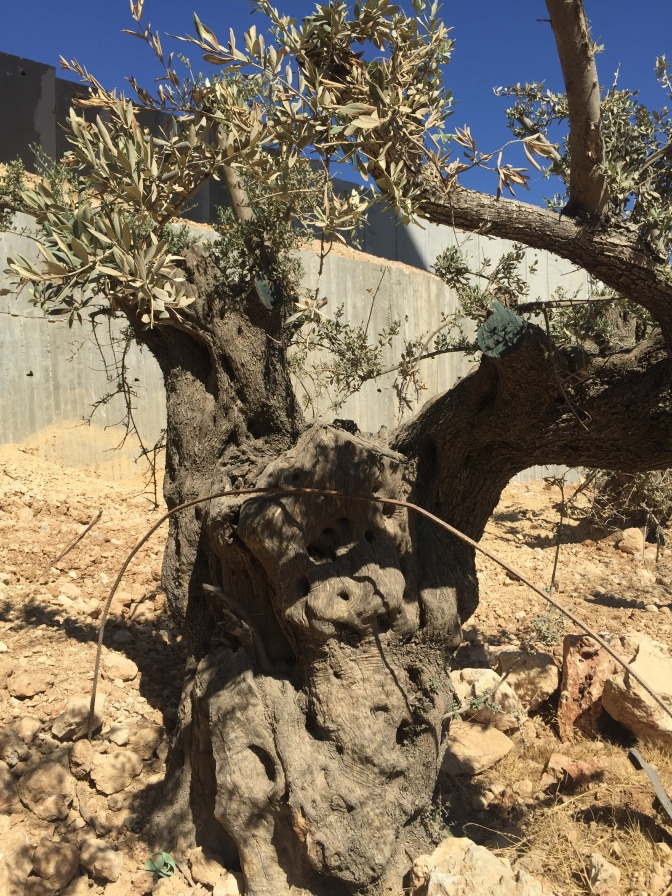 Plant an Olive Tree from Palestine