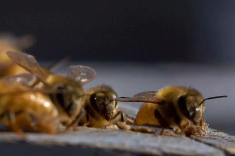 A close up of honey bees in a hive.