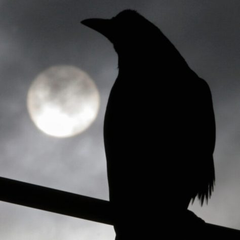 Crow in profile