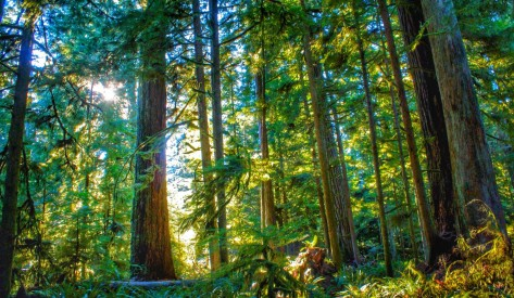 Douglas fir trees in British Columbia grow faster when they have more connections to other trees by way of fungal networks living in the forest soil, according to a new U of A study. (Photo: Getty Images)