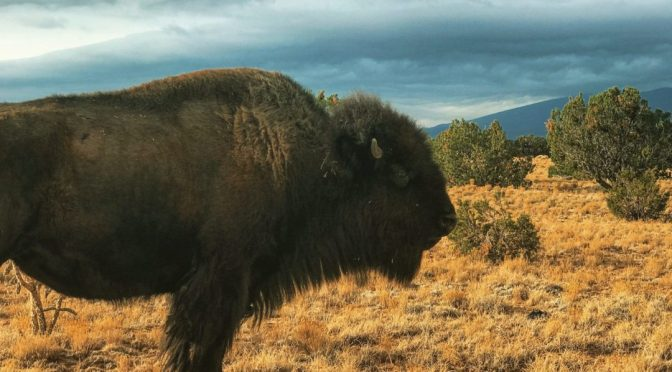 Tanka Fund's Regranting is Restoring Buffalo to Native Lands by Trudy Ecoffey