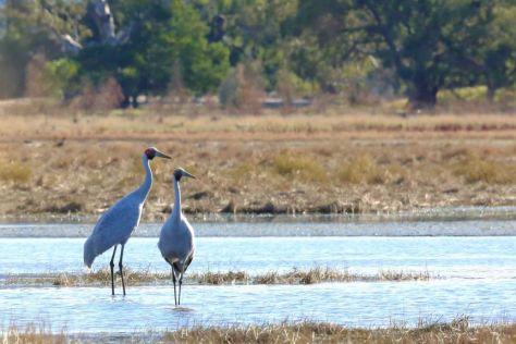 Two brolgas in a wetland.