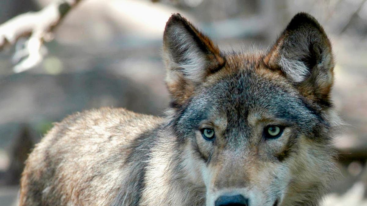 Anger from Native American and animal rights groups as Wisconsin hunters kill 216 wolves