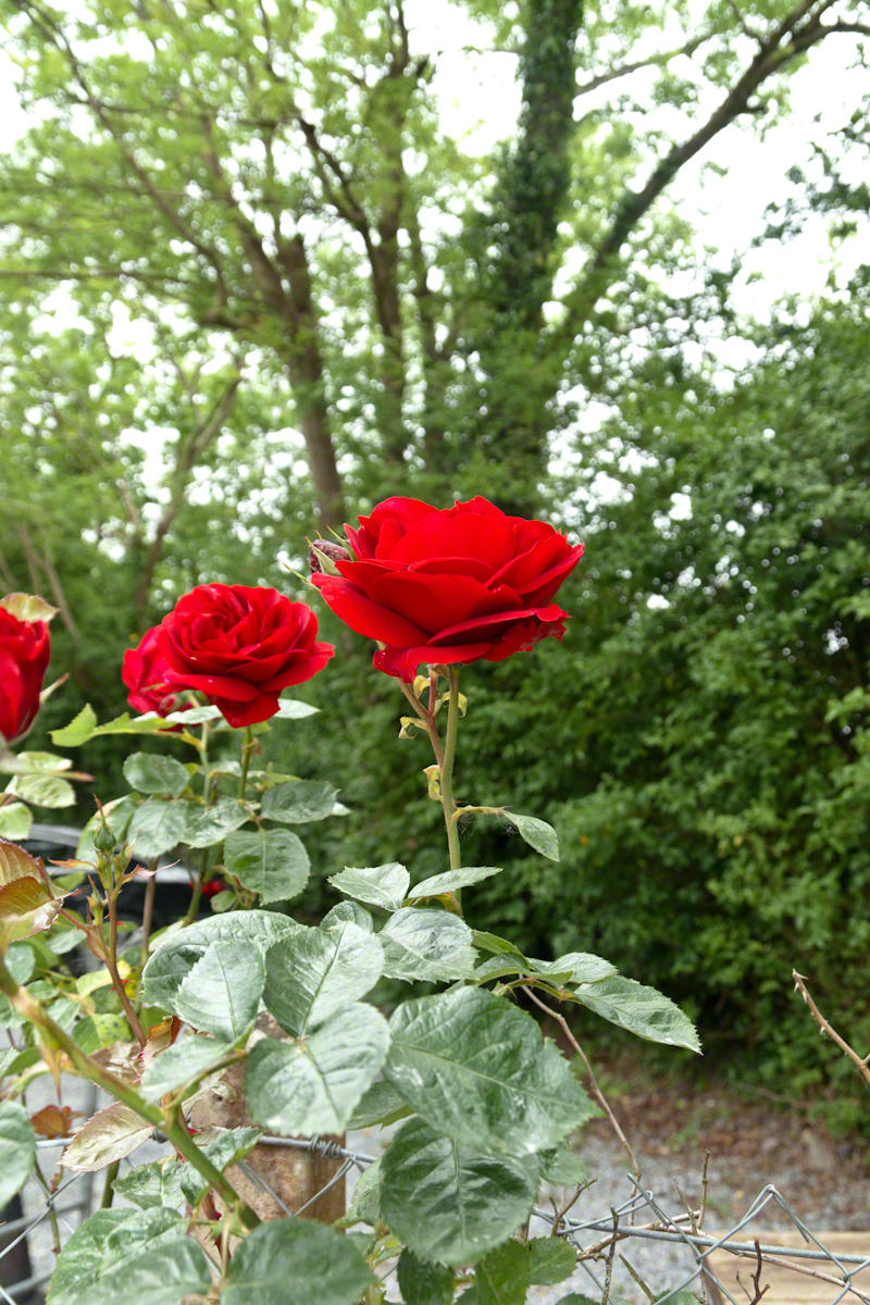 Rose of Castlemain– CLICK ME!!!!