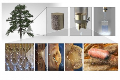 Sapwood from nonflowering trees, like pine and ginkgo, feature straw-like interconnected membranes that filter bubbles from water and sap -- which scientists used to make a water filter. Photo byN.R. Fuller, Sayo Studio