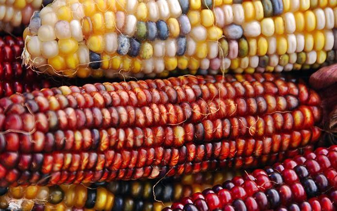 Mexico corn