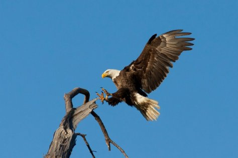 New research suggests rat poison exposure is common among North America's eagle populations. Photo by skeeze/Pixabay