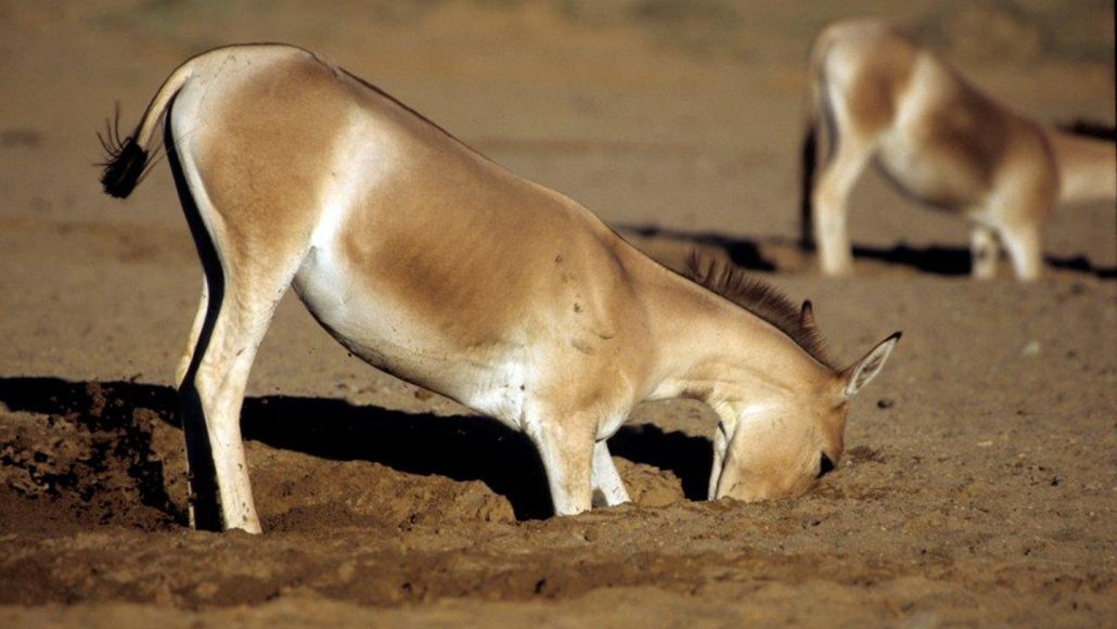 a kulan digging a hole in the ground