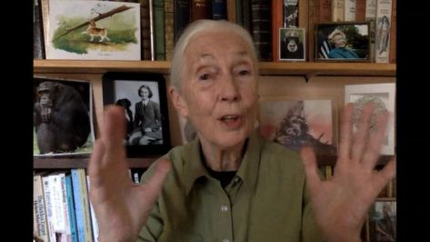 Jane Goodall speaks via video from her home for a Greentech Festival event last September in Berlin. The pandemic curtailed h