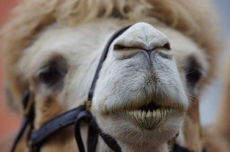 camel-1639198__340