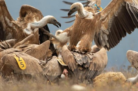 Griffon vultures are seen gathering along a ridge in Bulgaria's Eastern Balkan Mountains, where researchers say the species is making a resurgence. Photo byHristo Peshev/fwff.org