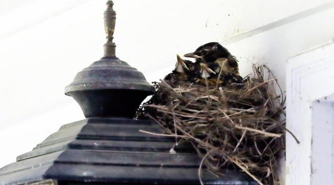 Robin Nest Build