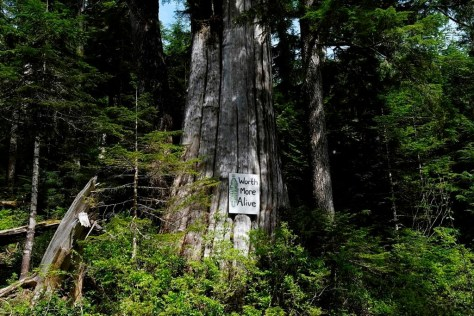 A sign posted on a dead tree on the Bugaboo, a logging road in the Fairy Creek area near Port Renfrew, is shown on May 11, 2021. THE CANADIAN PRESS/Jen Osborne.