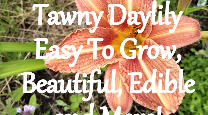 Tawny Daylily – Easy To Grow, Beautiful, Edible and More!