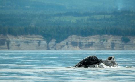 Researchers say there has been a resurgence of humpback whales off the coast of B.C. and Washington state.