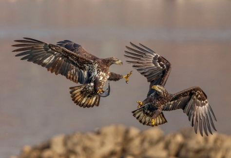 two eagles fighting in mid-air over a fish