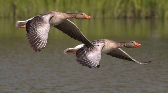 Birds from Walden                                   Canada Geese