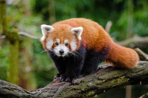 wallpaper et fond d'écran panda roux red panda animals animaux beau beautiful nature Asie Asiatique emblème photo photographie photography