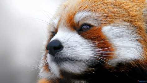 wallpaper et fond d'écran beau panda roux nice red panda animals animaux portrait Asie emblème symbole Asiatique photo photographie photography