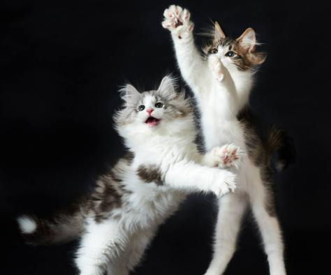 wallpaper et fond d'écran chatons joueurs Playful kittens animals animaux mignon cute chat cat félin feline drôle funny photo photographie photography
