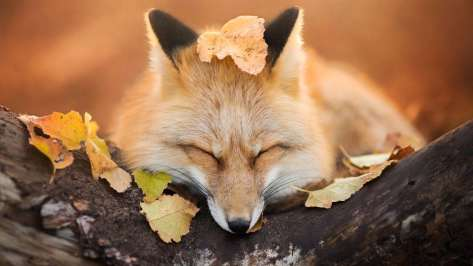 wallpaper et fond d'écran renard fox repos feuille rest automne sommeil animals animaux portrait photo photographie photography