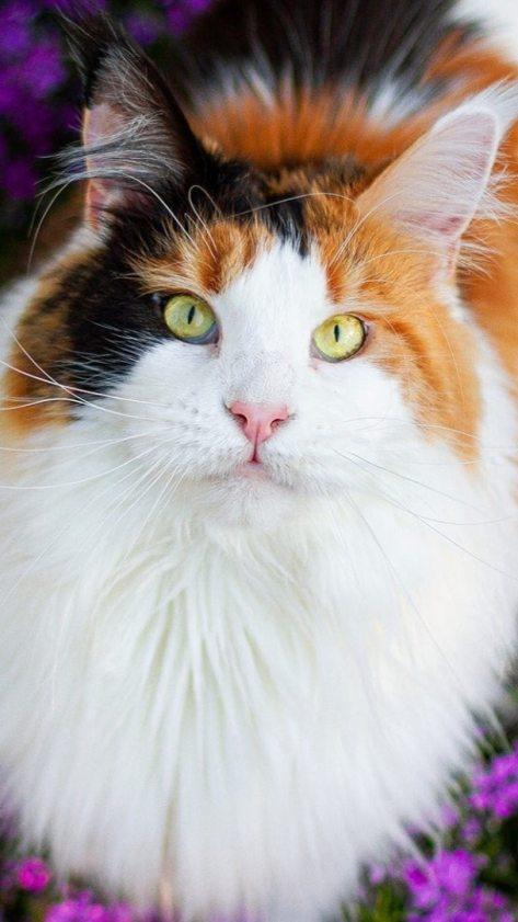 wallpaper et fond d'écran cat chat beau beautiful animals animaux magnifique portrait félin feline chaton kitten photo photographie photography