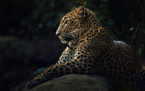 wallpaper et fond d'écran panthère panther félin feline animals animaux beau beautiful fauve sauvage photo photographie photography
