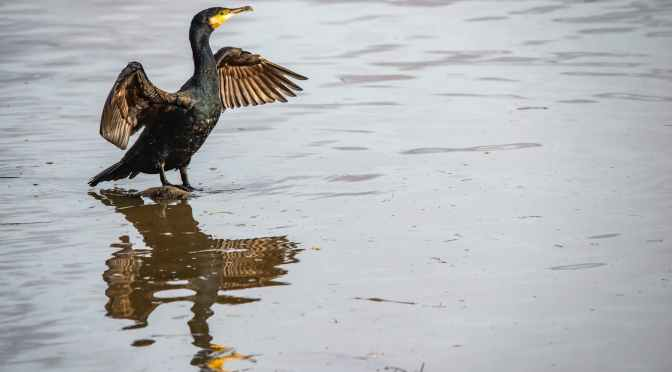 Birds From Walden                                         Double-crested Cormorant