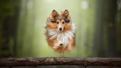 wallpaper et fond d'écran chien dog colley race animals animaux beau beautiful courir photo photographie photography