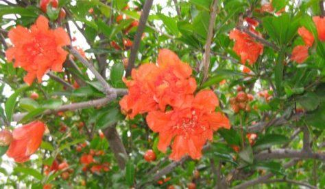 Pomegranate tree Punica granatum in bloom. (Photo credit: Joshua Siskin)