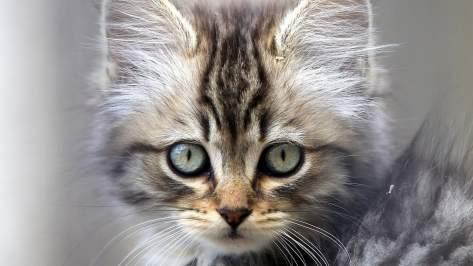 wallpaper et fond d'écran portrait chaton chat cat kitten mignon cute animals animaux beau yeux eyes little photo félin photographie photography